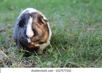 black and white guinea pig in the grass/ backyard. old cute and curious. profile picture