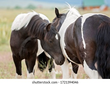 Black and White Gypsian Horse