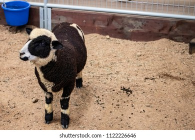 Black and White Harlequin Sheep on Display at the California Grown Agriculture & Livestock Showcase at the San Diego County Fair, California, USA