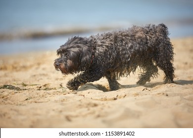 Black and white havanese dog walking on the beach at the sea in italy