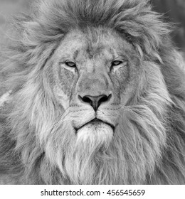 Black and white head shot of a male Lion.