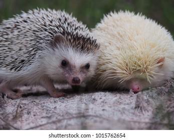 Black and white  hedgehog, small white hedgehog, cute hedgehog in the wild