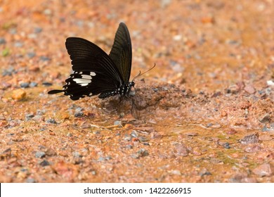 Black and White Helen swallowtail butterfly feeding on wet muddy ground at Khao Yai National Park