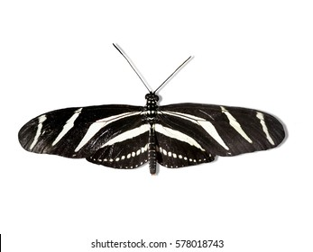Black and white Heliconius charithonius isolated on a white background