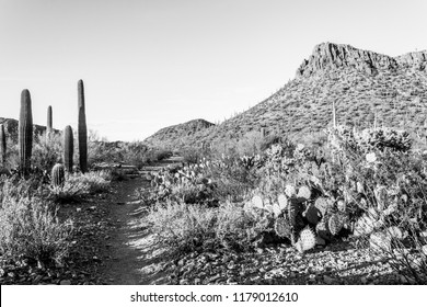 Black and white of a hiking trail running through the Sonoran desert landscape, varieties of cacti include prickly pear, cholla and saguaro cactus. Outside Tucson, Arizona. Spring of 2018.
