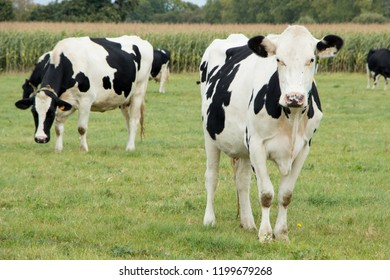 Black and white Holstein cows grazing in a field in Brittany