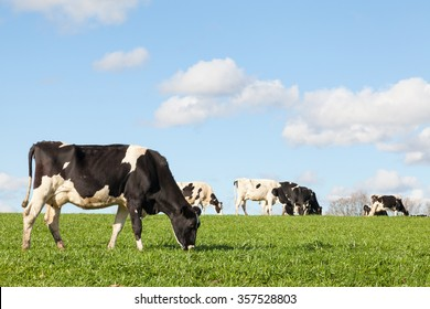 Black and white Holstein dairy cow grazing in a green pasture on the skyline against a blue sky and white clouds with copy space with the cattle herd in the background