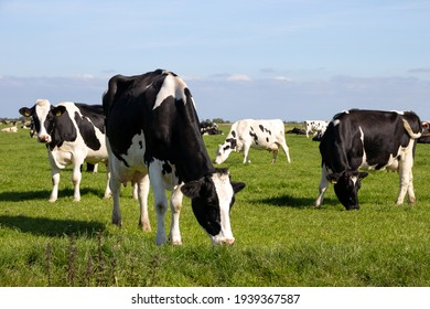 Black and white Holstein Friesian cattle cows grazing on farmland.