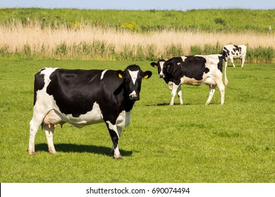 Black and white Holstein Friesian cow grazing in grassland.