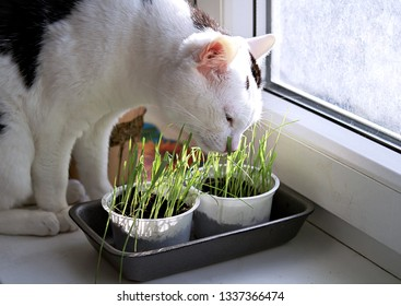 Black and white home cat eats fresh grass in pots on the windowsill. Pet care.