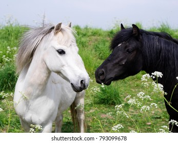 Black and white horse facing each other.