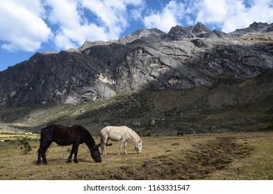 Black and white horses grazing in a field at Taullipampa on the Santa Cruz trek, near Huaraz, Peru