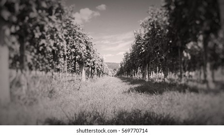 Black and White Hungarian Grape Wine Vineyards for Wine Making