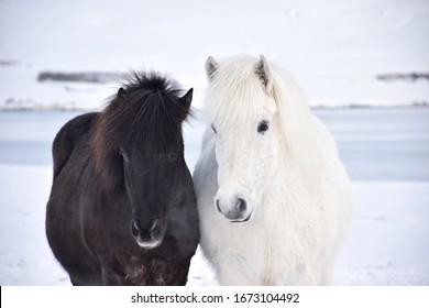 Black and white Icelandic horses