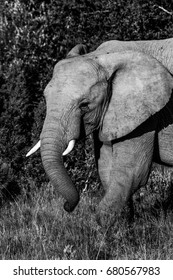 A black and white image of an african elephant in the bush in the Eastern Cape game reserves of South Africa