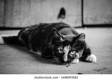 Black and White Image of Barn Cat