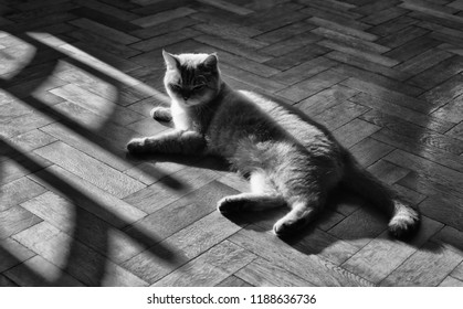 Black and white image of british tomcat lying on parquet floor
