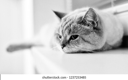 Black and white image of british tomcat lying on windowsill
