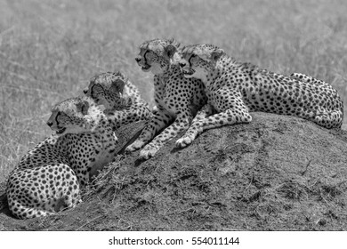 Black and white image of a Cheetah mother and three cubs sitting on termite mound watching for prey. Taken in the Masai Mara Kenya.