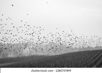 A black and white image contrasts a flight of wild birds over rows of vines in an Oregon vineyard, under a soft gray sky.