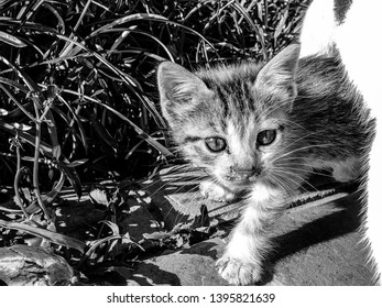 Black and white image of a curious tortoiseshell kitten