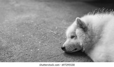 black and white image of dog(Japanese spitz) sleep on street.