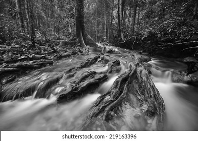 Black and white image of The equator green jungle and rain forest  with trees and bushes , clean and cool fresh water river flows through cascades stones and roots