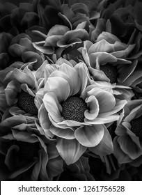 Das Schwarz-Weiß-Bild von fllower.image traurig und mysteriös.abstrakter Hintergrund. Chrysanthemum von Blütenmustern und -texturen.Dendranthemum grandifflora