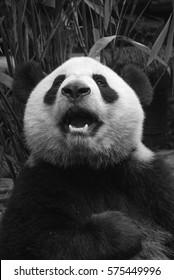 Black and white image of a Giant Panda bear in Chengdu, China