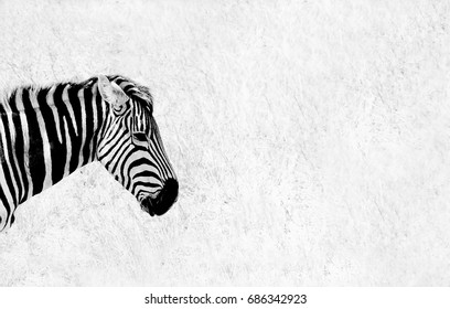 Black and white image of the head and neck of a Zebra taken against the dry arid background of the African savannah