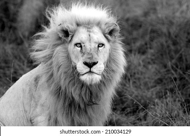 A black and white image of a huge male white lion.