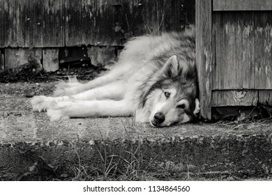 A black and white image of a  husky dog lays on the concrete by a house in Seaside, Oregon.