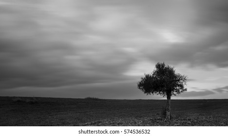Black and white image of lonely olive tree on a wheat field  with moving clouds. Long Exposure photo.