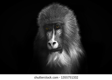 Black and white image of a monkey with bright orange eyes close-up on a contrasting black background