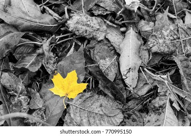 Black and white image with one single vivid autumn golden yellow leave on a carpet of fallen leaves. It is fall time, September and August. Everything is wet after the rain.
