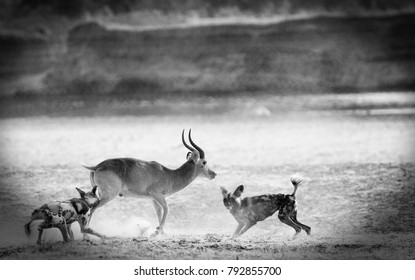 Black and white image of a pair of African Wild Dogs attacking a Puku Antelope in South Luangwa National Park, Zambia, Southern Africa - Flying dust particles are visible