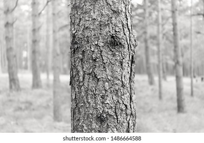 Black and white image of pine trees in the forest. Pine tree bark. Nature background