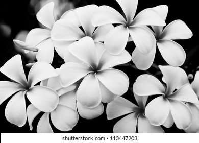 Black and white flowers images stock photos vectors shutterstock the black and white image of the plumeria flowers mightylinksfo