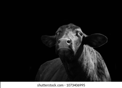 Black and white image of Santa Gertrudis cow looking at the camera on black background.