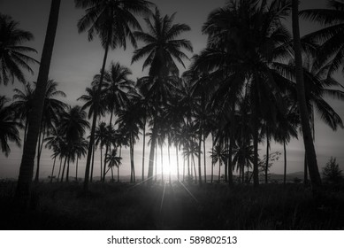 Black and white image of silhouette coconut palm trees on beach at sunset.