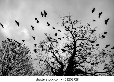 Black and white image of the silhouettes of a flock of crows flying of the bare branches of a tree, at the sound of a clap on a winter day.