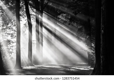 Black and white image of sunbeams shining through the forest in autumn, Amelisweerd, Utrecht Province, the Netherlands!