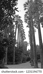 Black and white image of tall royal palm trees lining a walking path in the National Garden public park in Athens, Greece.