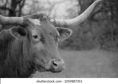 Black and white image of Texas longhorn cow with large horns on rural farm.  Rustic style ranch image for print or background.