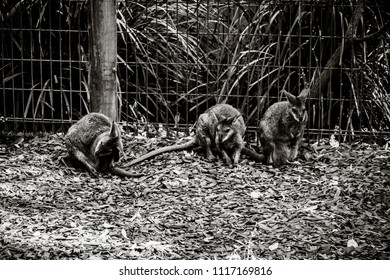 Black and White image of three kangaroo at a Zoo in Sydney