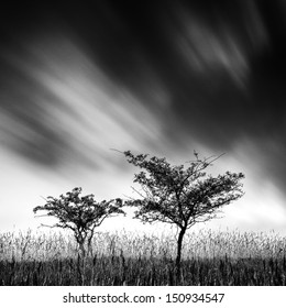 Black and white image of two blackthorns (Prunus spinosa) with clouds are floating across the sky.