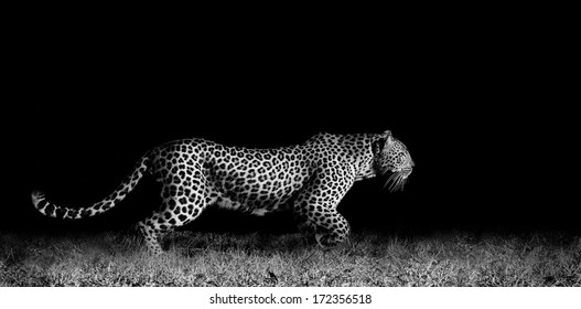Black and white image of a wild African leopard stalking