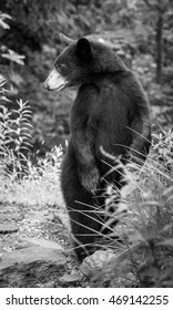 A black and white image of a young black bear (Ursus americanus) standing tall in the mountains of Western North Carolina. This is near the border of Tennessee.