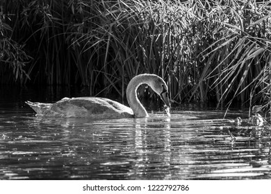 Black and white image of young mute cygnet swan searching for food