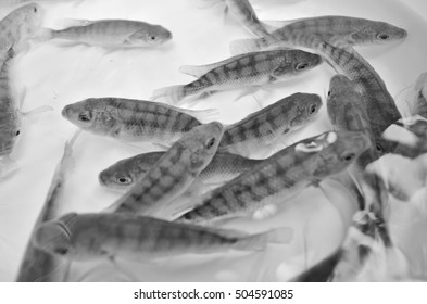 Black and white image of young tilapia fish in clear water